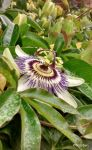 More passion flowers by ancoben