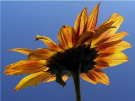 Sunlight on a Sunflower by andras120