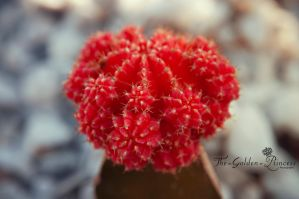 Red cactus 1 by The-Golden-Princess