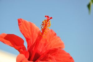 Red Flower with Sky Background by lironk