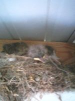baby birds by wittlecabbage
