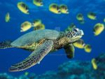 Green Sea Turtle by coop3r05