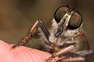 My Pet Robber Fly by dalantech
