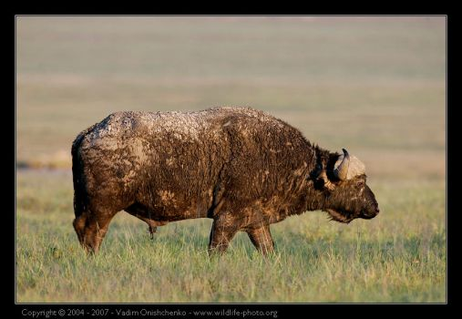 African Buffalo by invisiblewl