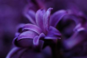 Purple flower by davidliong
