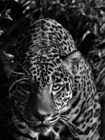 Black and White Week #10: Prowler by robbobert