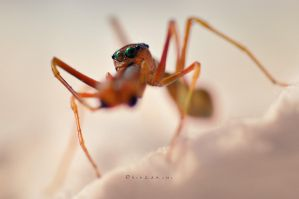 Red Ant-Spider by hirza