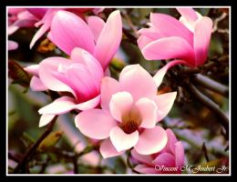 Pink Flowers. by VinnyJ