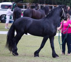 STOCK - Friesian Show 2012-116 by fillyrox