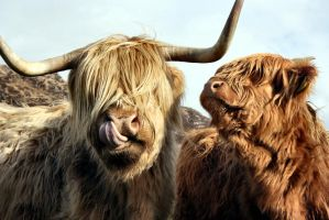 Highland Cows by flextograph
