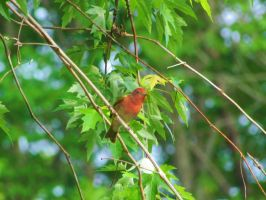 Summer Tanager by LovingLivingLife