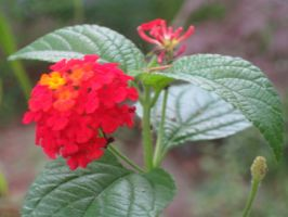 Lantana 4 by crazygardener