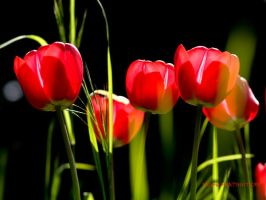 Red tulips by valeriemonthuit