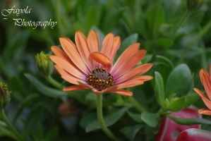 flower by FayolaPhotography