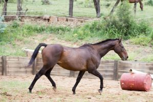 Km Old TB trot side view by Chunga-Stock