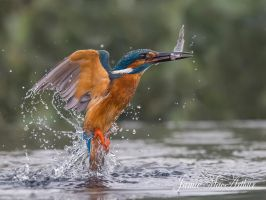 Grabbing a bite to eat - Common Kingfisher by Jamie-MacArthur