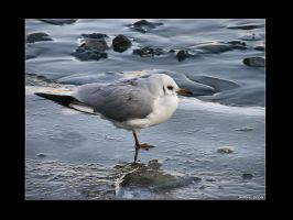 Gull by Leitor