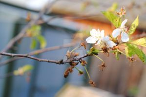 Cherry Blossoms 2012' by MaePhotography2010