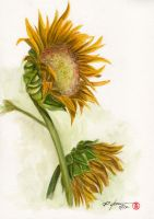 sunflower by rchaem
