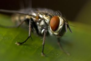 Common Fly Nov 001 by otas32