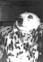 Dalmation Fire Dog by slipknotcrow