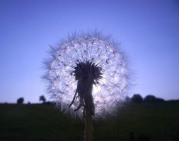 Dandelion Clock by Melonjuice23