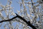 Apple trees in bloom stock #2 by croicroga