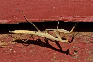 The Mantis - On the porch by Cyberpriest