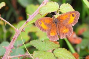 Brown and orange butterfly by Jorapache