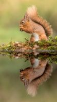 Red Squirrel by Jamie-MacArthur