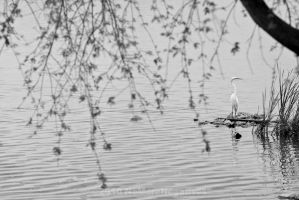 Horseshoe Lake : Egret by Katastrophey
