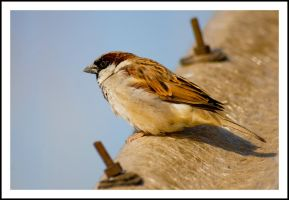 sparrow perched by sanwahi