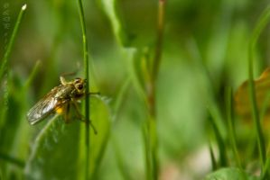 Yellow Dung-Fly by sillverrfoxx
