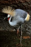 East African Crowned Crane by Misty-Dawn