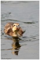 Sweet little duckling by Claudia008