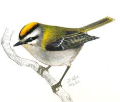 Regulus ignicapillus - firecrest by Psamophis
