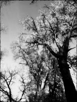Black and White Trees by ravenaudron