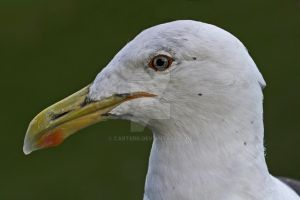 Adult Black Backed Gull by carterr