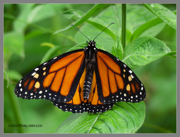 Orange and Black Butterfly by Mogrianne
