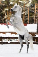 White stallion Kollizey by Vikarus