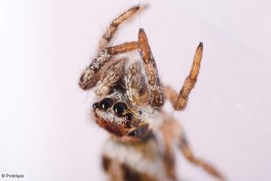 jumping spider 10 by Prototyps