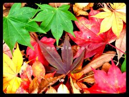mapple leaf by lisz