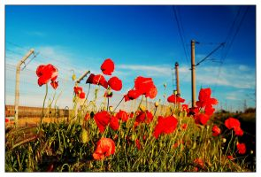 poppies near railway by geographu