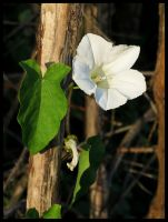 Bindweed by Pildik