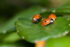 Ladybugs by Injato