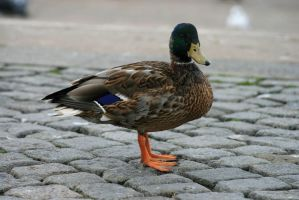 duck by puffy69
