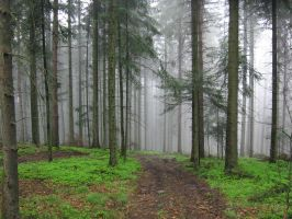 The forest in fog by w-p