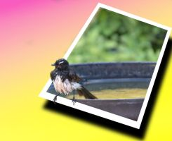 Willie Wagtails Wash OOB by MayEbony