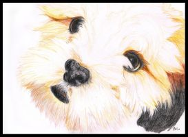 Lhasa Apso by jpaul