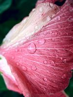 Pink Flower With Drops by richardxthripp